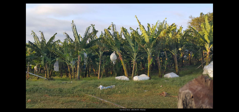 Finca 1600 tas bananos org produccion4