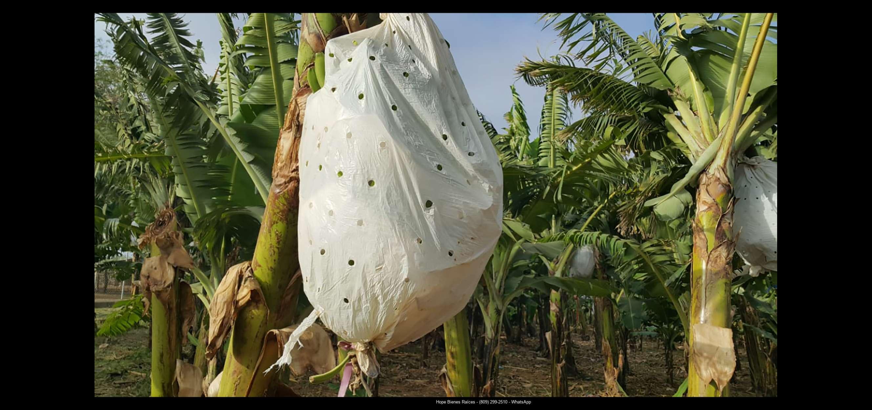 Finca 1600 tas bananos org produccion6