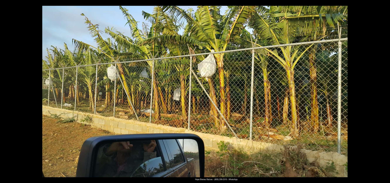 Finca 1600 tas bananos org produccion7