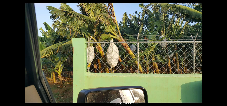 Finca 1600 tas bananos org produccion8
