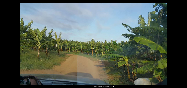 Finca 1600 tas bananos org produccion10