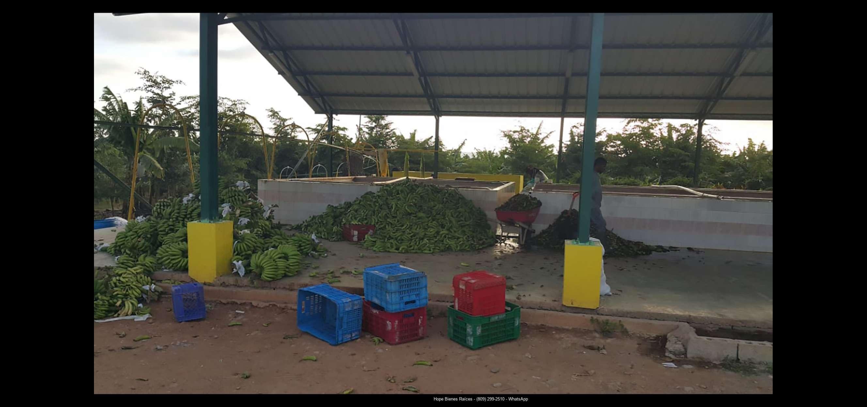 Finca 1600 tas bananos org produccion14