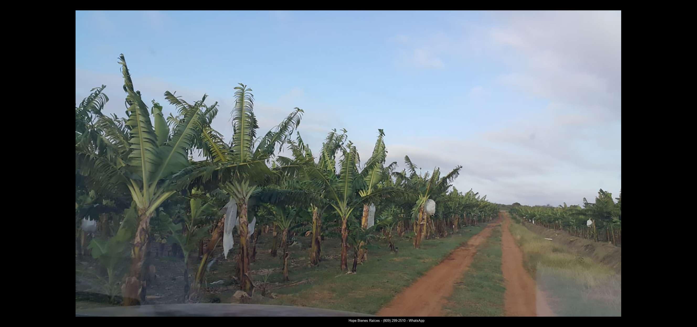 Finca 1600 tas bananos org produccion19