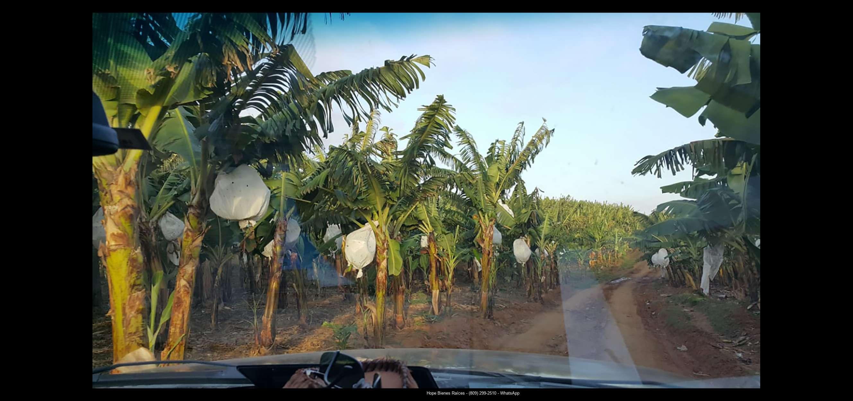 Finca 1600 tas bananos org produccion9
