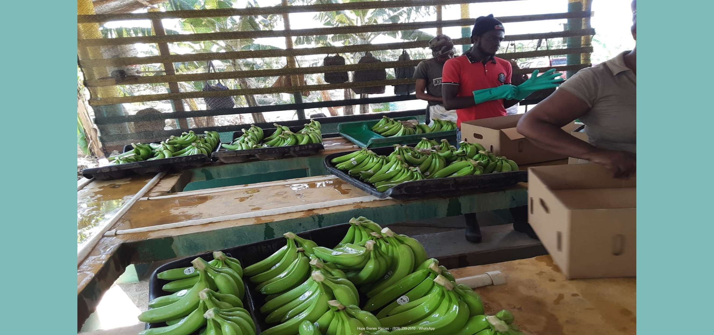 Finca bananos orgánicos - empaque 1
