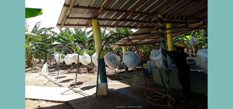 Finca bananos orgánicos - Proceso 1