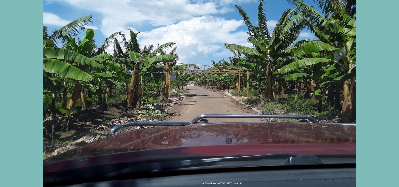 Finca de bananos orgánicos - Entrada