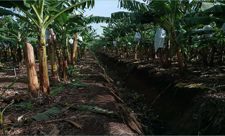 Bananos orgánicos 2