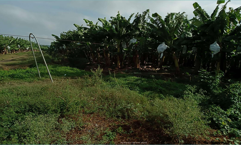Bananos orgánicos en producción